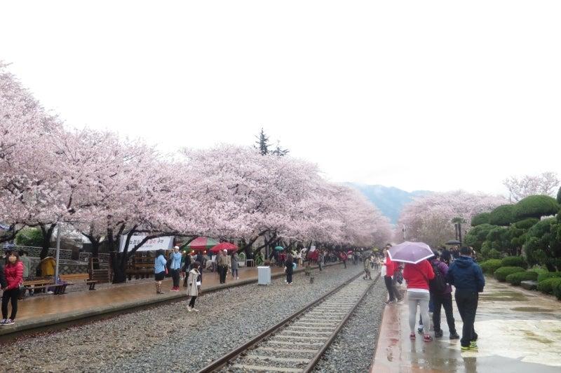 鎮海桜祭2-8