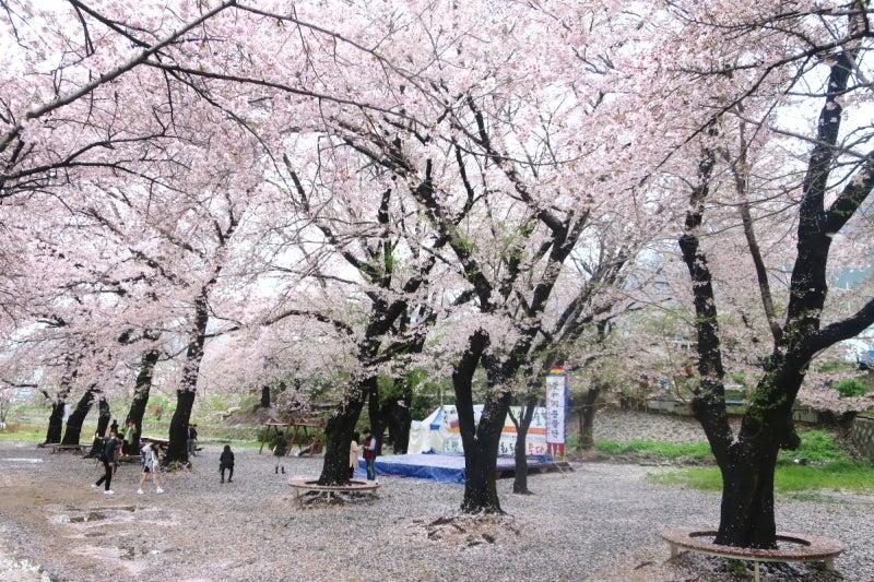 鎮海桜祭2-12
