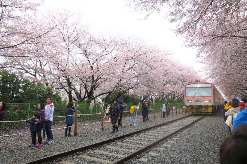 鎮海桜祭2-11