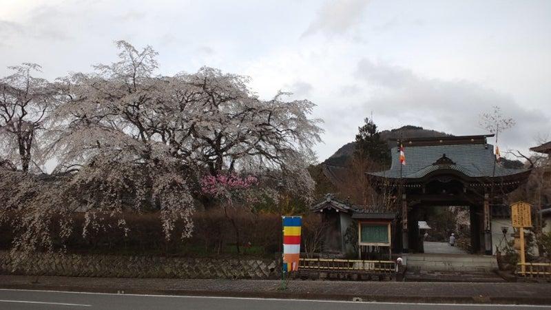 浄専寺の門周辺のしだれ桜