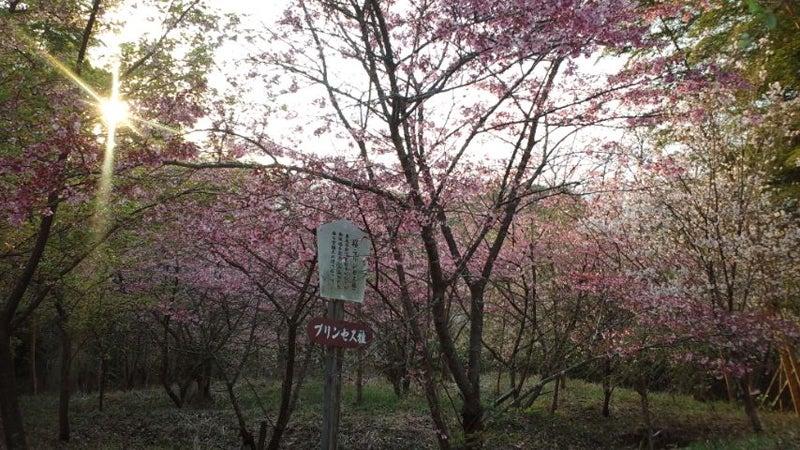 「プリンセス雅」桜