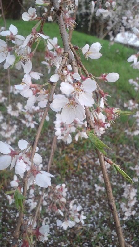 日没前のしだれ桜のアップ