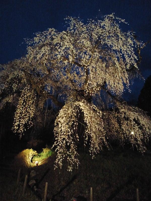 浄専寺の夜のしだれ桜