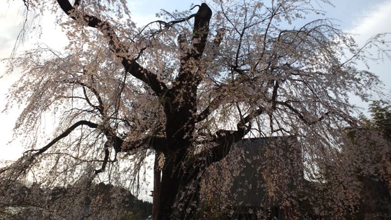 浄専寺の日没前のしだれ桜