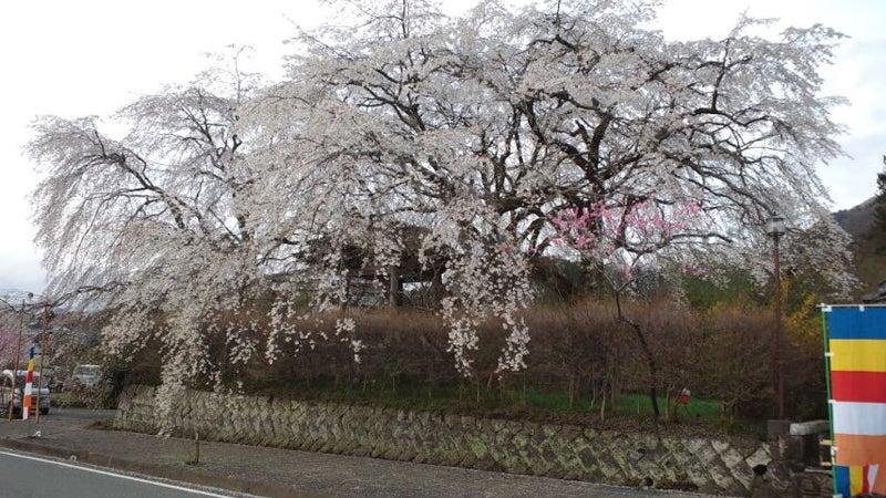 浄専寺の門のしだれ桜を近くで撮影