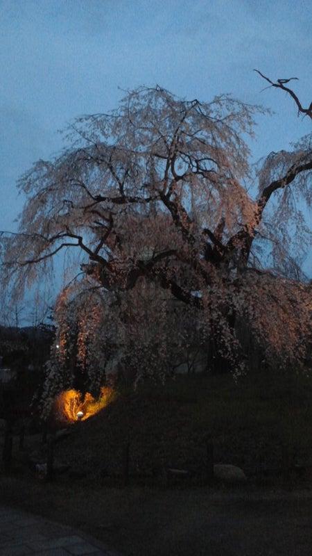 浄専寺のしだれ桜ライトアップ開始