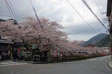 城崎温泉 桜