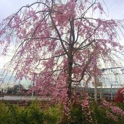 画像 今年の桜 の記事より 5つ目