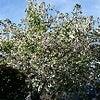桜のあとはハナミズキの画像