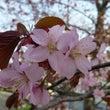 桜 咲き始めました