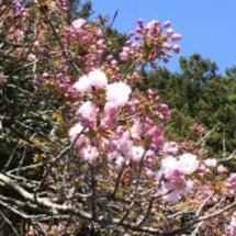 今度は八重桜が開花!