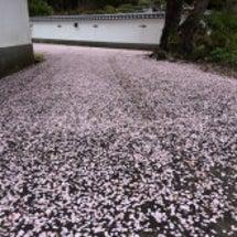桜の花弁の絨毯