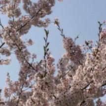 いよいよ、自宅の桜満…