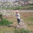 りんごの花つけ2日目