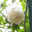 ♡2015年薔薇シー…