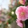 ■亀戸天神梅まつり2015|その2|今年の梅もお見事!白梅、紅梅、ヒヨドリ、東京スカイツリー。の画像