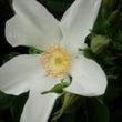白い薔薇が咲き始めま…