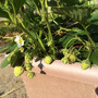 イチゴ収穫は間近