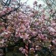 梅、桜そして牡丹