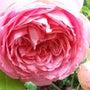 薔薇が咲く季節♪
