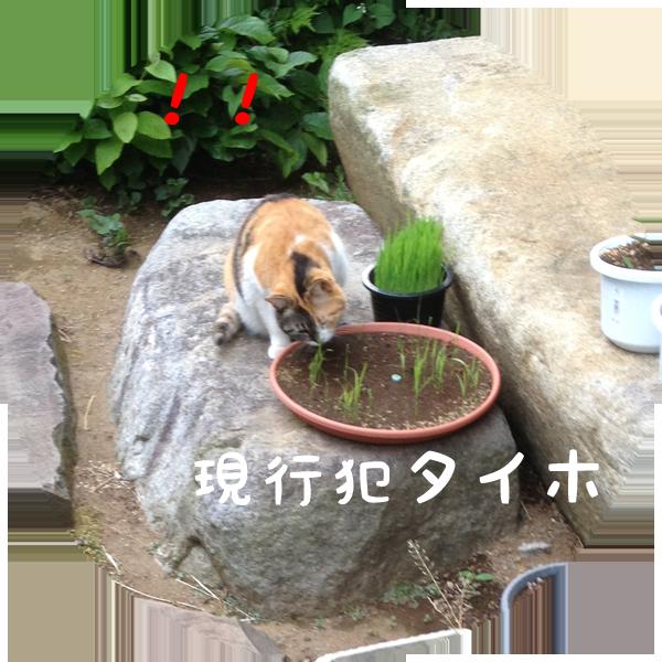 ネコ草 稲