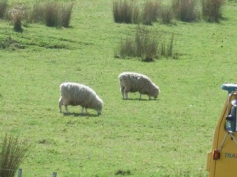 羊,草原,放牧,ニュージーランド〈著作権フリー無料画像〉Free Stock Photos