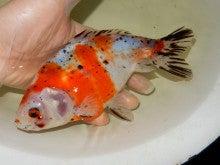 キャリコ和金 親魚 愛好家物