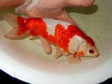 更紗和金 肉瘤付き 親魚 愛好家物
