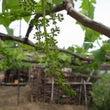 鈴木園の葡萄畑 [5…
