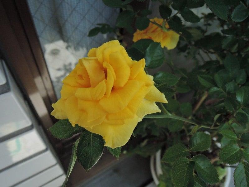 20150502 黄バラ2