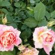 薔薇がキレイな季節で…