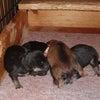 5月24日黒柴3匹・赤柴1匹産まれました♪の画像