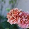 バラ「カフェラテ」の画像