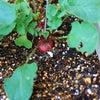 ラディッシュ栽培、大成功の画像