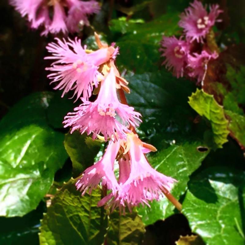 イワカガミ 上高地 五月 六月 花 ピンク