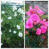 薔薇が見ごろですね 【エステサロンプリータ】の画像