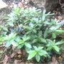 さつき盆栽を剪定しま…