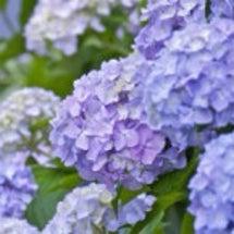 梅雨が来たら紫陽花《…