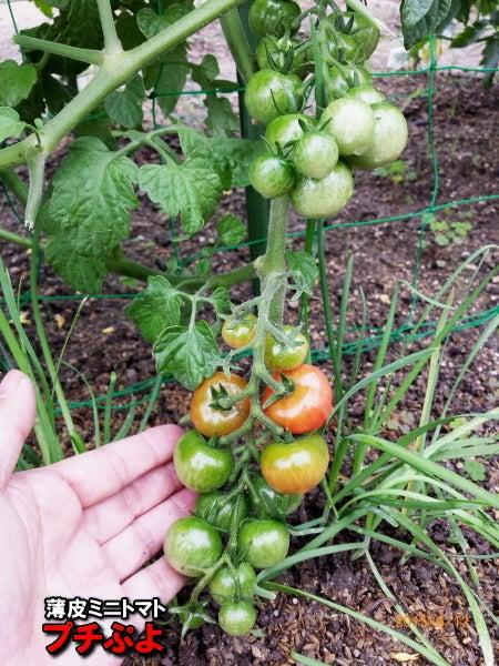 斑点 ミニ トマト 黒い