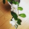 くちなしの花の画像