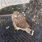 二条駅前で、鷹に似た鳥を見つけました。の記事より