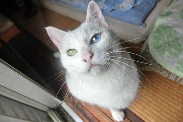 オッドアイの白猫ユキ