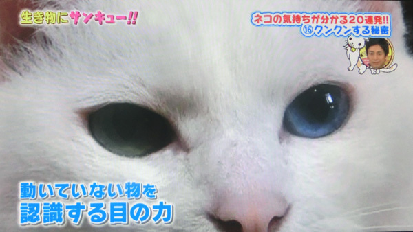 トコトン掘り下げ隊 生き物にサンキュー出演の白猫ユキ6
