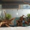 エアープランツ、他テラリウム用植物  用品 入荷しました。の画像