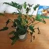 モンステラに似た観葉植物!の画像