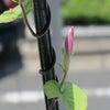 朝顔観察日記⑦  琉球朝顔のツボミの画像