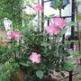 コットンスノーのバラ…