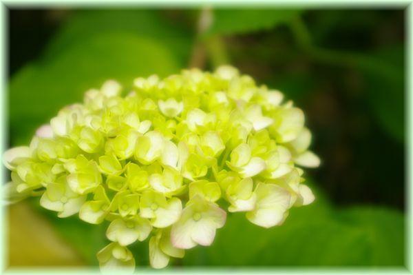 紫陽花まだ白