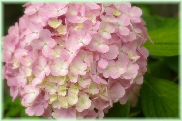 紫陽花ピンク.1