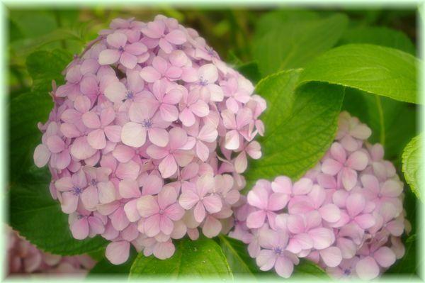 紫陽花ピンク.2
